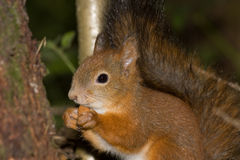 Squirrel. Close-up of a red squirrel eating a nut stock photography
