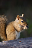 Squirrel. A squirrel who will pose for nuts stock images