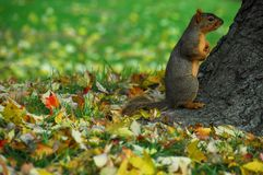 Squirrel 7. A large squirrel sitting at the base of a tree with fall leaves on the ground around him royalty free stock photo