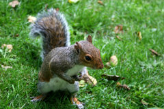 Squirrel. Gray squirrel in close up on grass Royalty Free Stock Photography