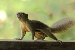 Free Squirrel Royalty Free Stock Image - 7243796