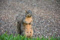 3 squirrel 免版税库存照片