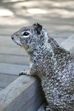 Squirrel. A squirrel, leaning over a short railing, looking out onto a sun-lit deck Stock Image