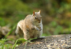 Squirrel. A Squirrel Stock Photography