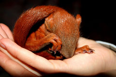 The squirrel. In hands on black backround Royalty Free Stock Photography