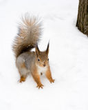 Squirrel. A red squirrel standing on the snow Stock Photography
