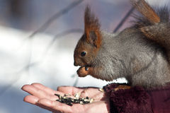 Free Squirrel Royalty Free Stock Photo - 8500615