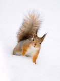 Squirrel. A lovely squirrel standing on the snow Stock Images