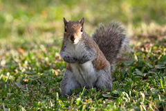 Squirrel. A curious squirrel looking directly at the camera royalty free stock images