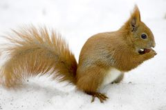 Squirrel. With a nut Royalty Free Stock Photo