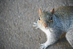 Squirrel. A grey squirrel looking for food. Shallow depth of field, focus on the nose and whiskers Stock Image