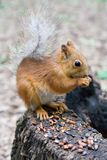 Squirrel. Eating Stock Image
