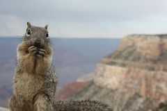 Squirrel above Grand Canyon Stock Image