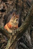 The squirrel with an acorn. Royalty Free Stock Photos