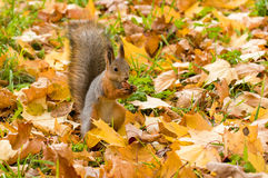 Squirrel and acorn. Squirrel eating an acorn in the meadow strewn with yellow leaves Stock Images