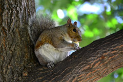 The squirrel and acorn Stock Image