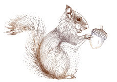 Squirrel with acorn, vector royalty free stock image