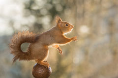 The squirrel acrobat. Close up of red squirrel on a ball reaching out with blurry feet Royalty Free Stock Photo