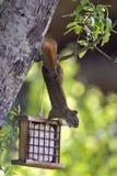 Squirrel acrobatic Stock Photography