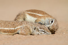 Squirrel affection Royalty Free Stock Photography