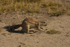 Squirrel. Africa Creature Face Ground Mammal Nature Sand Small Squirrel Tail Watchful Wildlife bush botswana savannah safari Stock Image