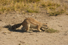 Squirrel. Africa Creature Face Ground Mammal Nature Sand Small Squirrel Tail Watchful Wildlife bush botswana savannah safari Stock Photos