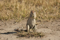 Squirrel. Africa Creature Face Ground Mammal Nature Sand Small Squirrel Tail Watchful Wildlife bush botswana savannah safari Royalty Free Stock Photos