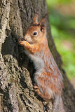Squirrel against a tree bark Royalty Free Stock Photos
