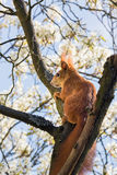 Squirrel against white blossoms Stock Image