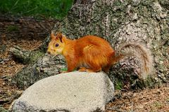 The squirrel in Ala Archa national park stock photos
