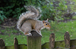 Squirrel alert Royalty Free Stock Photo