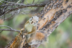 Squirrel Alert Royalty Free Stock Images