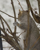 Squirrel Alert Two Royalty Free Stock Photography