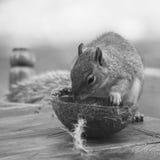 Squirrel a alimentação de um coco em uma tabela de madeira no outono Imagens de Stock Royalty Free