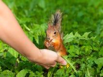 Squirrel a alimentação Fotos de Stock