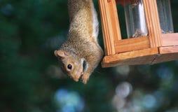 Squirrel-Amen Amen Amen Royalty Free Stock Image