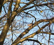 Squirrel amongst branches of huge oak on blue winter sky. Squirrel amongst branches of huge oak Stock Images
