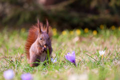 Squirrel amongst flowers Stock Image