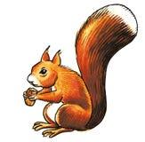 Squirrel animal. Squirrel gnawing hazelnut in forest royalty free illustration