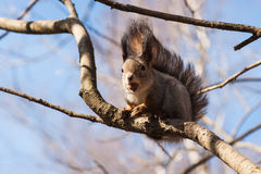 Squirrel animal with a hazelnut in its mouth sits on a tree bran Stock Images