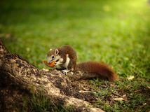 Squirrel eating orange at trunk of a tree royalty free stock images