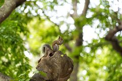 Squirrel animal sit on tree branch in wood. On blurred natural background. Wildlife and nature habitat concept Stock Images
