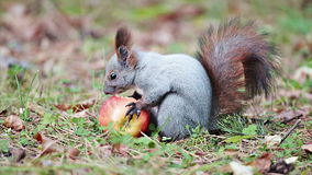 Squirrel with an apple stock video footage