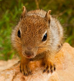 Squirrel on the Approach. Grand canyon squirrel approaching and looking for food Stock Photo