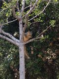 Squirrel are arboreal creatures Royalty Free Stock Photo