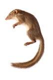 Squirrel asia Stauffer animals isolated Stock Image