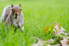 Squirrel  astonished Royalty Free Stock Photo