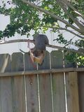 Squirrel attacking birdhouse royalty free stock photos