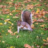 A squirrel attempts a one hand pushup among fallen leaves. A squirrel humorously attempts a one hand pushup among fallen leaves in London, Ontario during autumn royalty free stock image