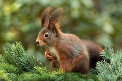 Squirrel, Attention, Ears, Cute Royalty Free Stock Photography